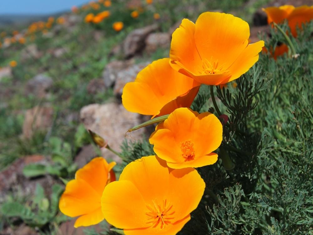Imagen de Eschscholzia californica. Fuente: lhseeds.com